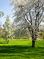 Orchard in Spring (8720058152).jpg