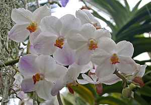 English: Orchid, Kew Gardens, Surrey One of th...