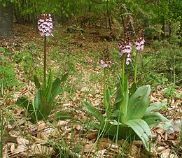Orchis purpurea plants2.jpg