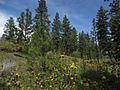 Oregon Grape flowering in the shade of Ponderosa Pines at Skaha Bluffs Park.jpg