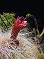 Oreocereus pseudofossulatus 02.jpg