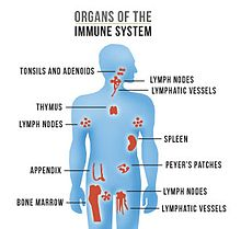 Organs of the Immune System by AIDS.gov.jpg