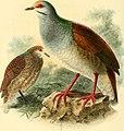 Ornithological miscellany (1876) (14746163074).jpg