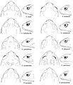 Osornophryne 10 females - ZooKeys-108-073-g011.jpg
