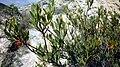 Osyris lanceolata.jpg