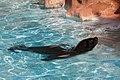 Otaria flavescens - Rancho Texas Park - Tías - Lanzarote -PC30.jpg
