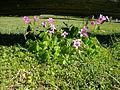 Oxalis debilis plant3 (14543169567).jpg