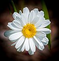 Oxeye Daisy Macro Top-View PLT-FL-DS-4.jpg
