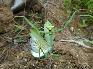 Dictyoptera - Deimatic behaviour of the mantis Oxyopsis sp.