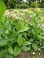 P1000485 Nicotiana tabacum (tobacco) (Solanaceae) Plant.JPG