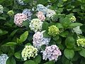 PIC 20160604 Hydrangea macrophylla.jpg