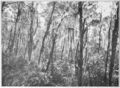PSM V85 D362 Florida spruce pine forest by lake tsala apopka.png