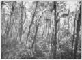 PSM V85 D362 Florida spruce pine forest by lake tsala apopka.png