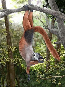 A medium-sized lemur hangs by its feet from a tree branch while eats fruit from a much smaller branch below.
