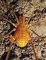 Pachylospeleus strinatii (10.3897-subtbiol.19.8207) Figure 2 (cropped).jpg