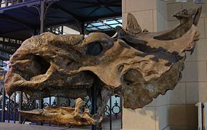 Crani de Pachyrhinosaurus, Royal Belgian Institute of Natural Sciences.
