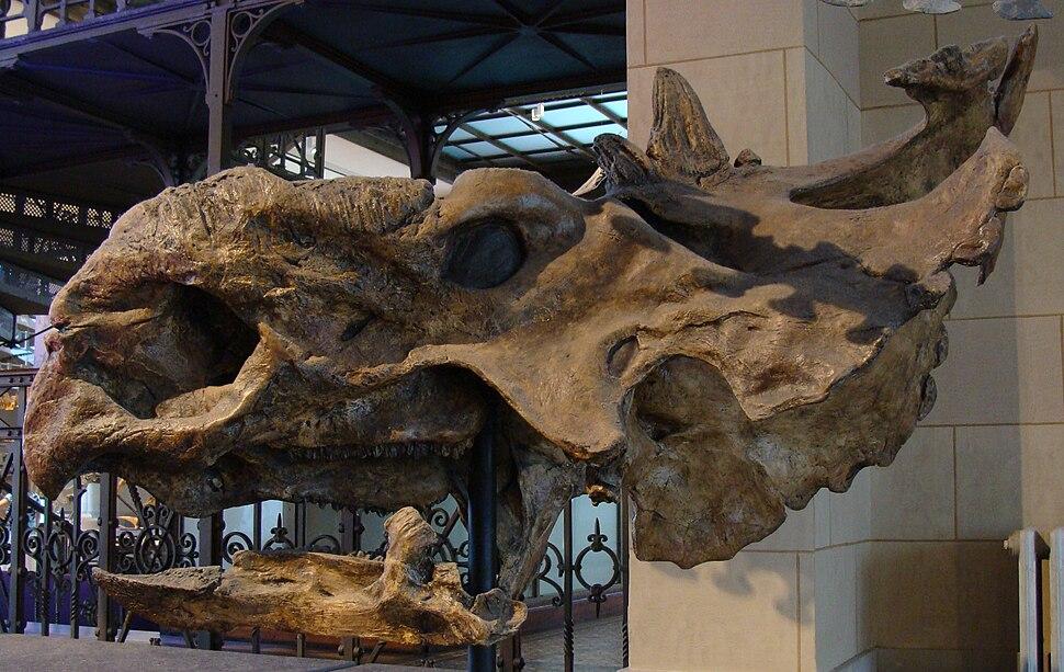 Pachyrhinosaurus skull