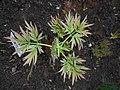 Paeonia lutea 2016-04-19 7663.jpg