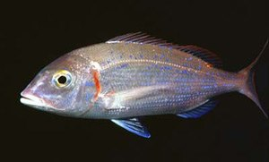 Porgy fishing - Common pandora