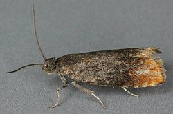 Pammene rhediella, Trawscoed, North Wales, May 2011 (19656314116).jpg
