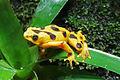 Panamanian golden frog 01 2012 BWI 00395 zoom.jpg