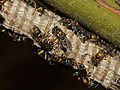 Paper Wasps (Ropalidia sp.) (15683209055).jpg