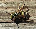 Paper wasp 9051.JPG