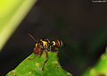 "Paper wasp with ""meat"" -2- (5380175028).jpg"