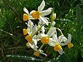 Paperwhites (Narcissus tazetta) (8338493118).jpg
