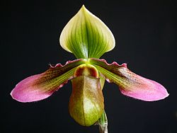 Flower of Paphiopedilum hookerae