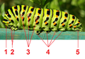 Papilio Machaon caterpillar tagged.png
