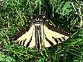 Papilio rutulus-1.jpg