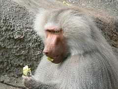 Papio hamadryas eating an apple.JPG