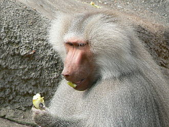 Hamadryas baboon - The hamadryas baboon eats fruit in captivity, although it is not a regular part of its diet in the wild