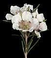 Paragonis grandiflora - Flickr - Kevin Thiele.jpg