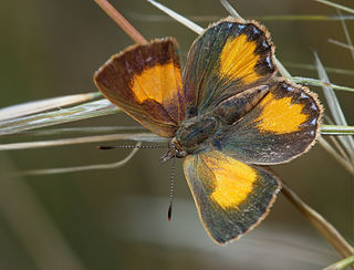 <i>Paralucia</i> Butterfly genus in family Lycaenidae