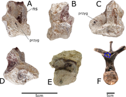 Fragments of vertebra from Paranthodon and a Stegosaurus dorsal superimposed with them