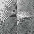 Parasite160090-fig2 Cepedea longa (Opalinidae).png