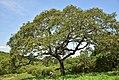 Parinari curatellifolia01.jpg