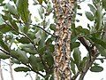 Parinari curatellifolia 1.jpg