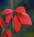 Parthenocissus quinquefolia feuille11.jpg