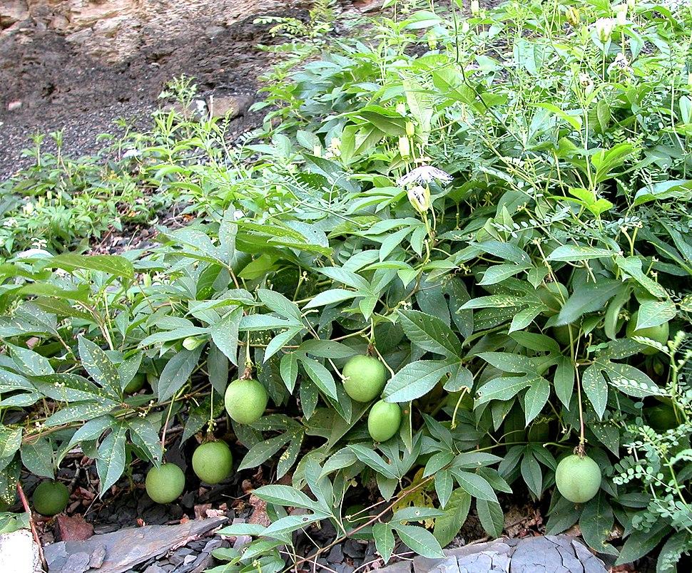 Passiflora fruit 8043
