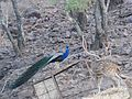 Peacock DSCN2617.jpg