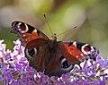 Peacock butterfly 2 (3845608151).jpg