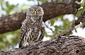 Pearl-spotted Owlet, Glaucidium perlatum, at Pilanesberg National Park, Northwest Province, South Africa (16966922032).jpg