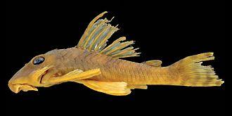 Peckoltia greedoi - Image: Peckoltia greedoi holotype lateral
