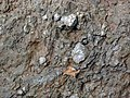 Pedogenic breccia (Conemaugh Group, Upper Pennsylvanian; creek cut on the western side of Caldwell, Ohio, USA) 28.jpg
