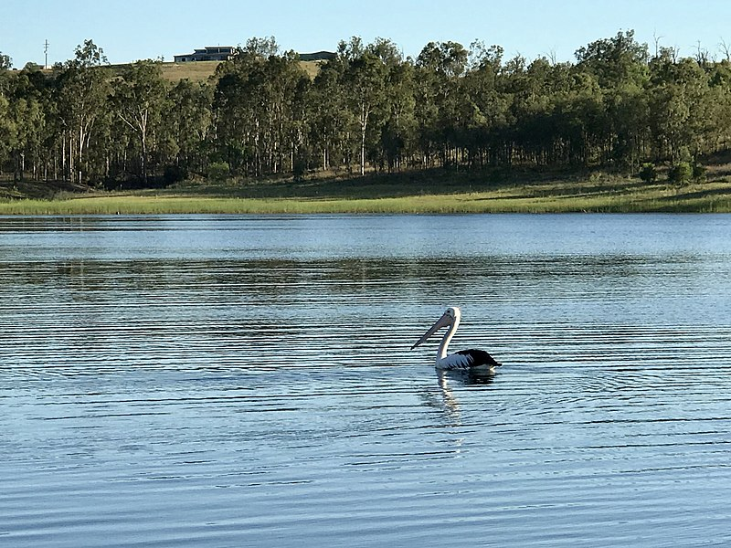 File:Pelican at Lake Wivenhoe, Queensland 01.jpg