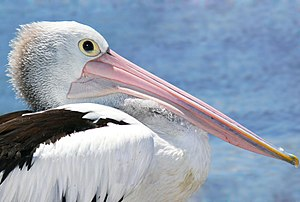Pelicanhead