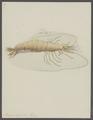 Penaeus setiferus - - Print - Iconographia Zoologica - Special Collections University of Amsterdam - UBAINV0274 097 10 0004.tif